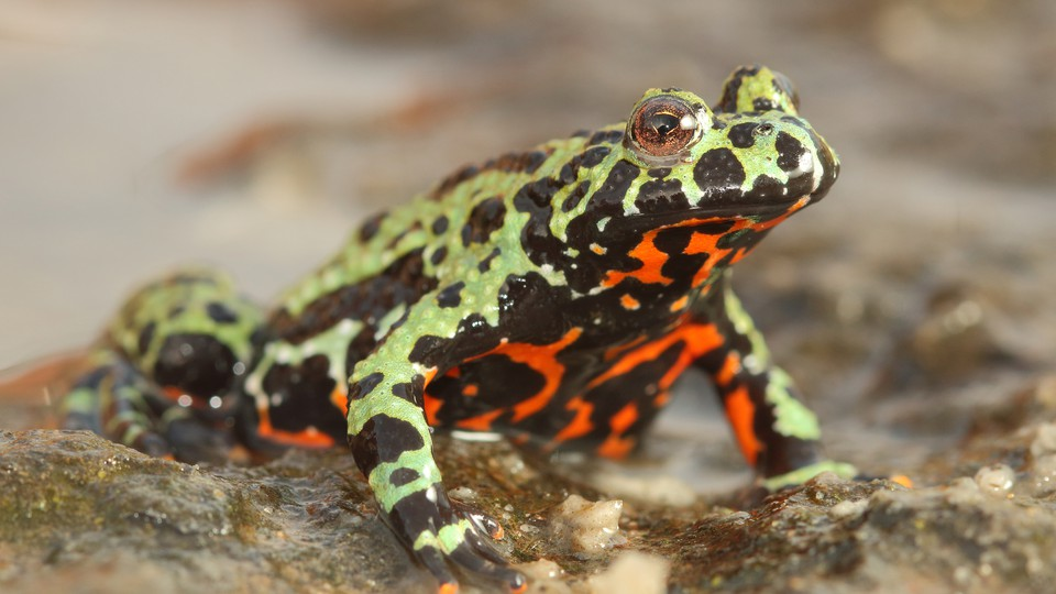 A green and black frog with a red belly