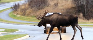 A photo of a moose crossing Westpark Drive in Anchorage, Alaska