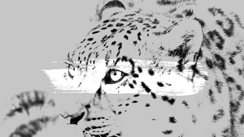An illustration of a snow leopard