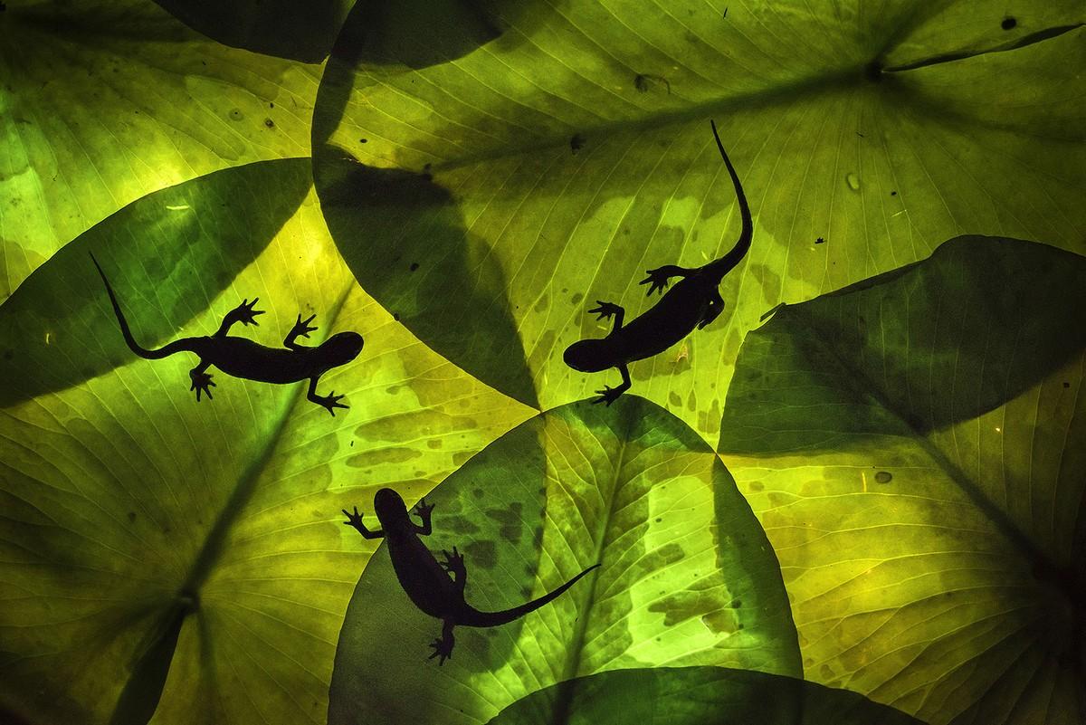 Three salamanders, seen silhouetted against large leaves