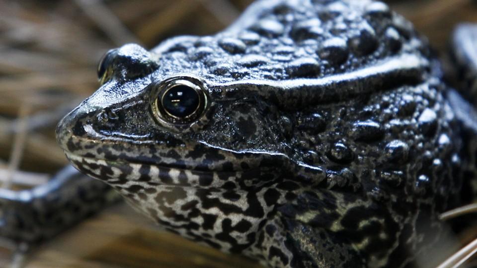A dusky gopher frog