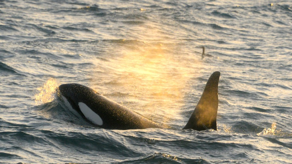 An Orca whale emerges from the water