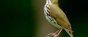 A bird sings while standing on a branch