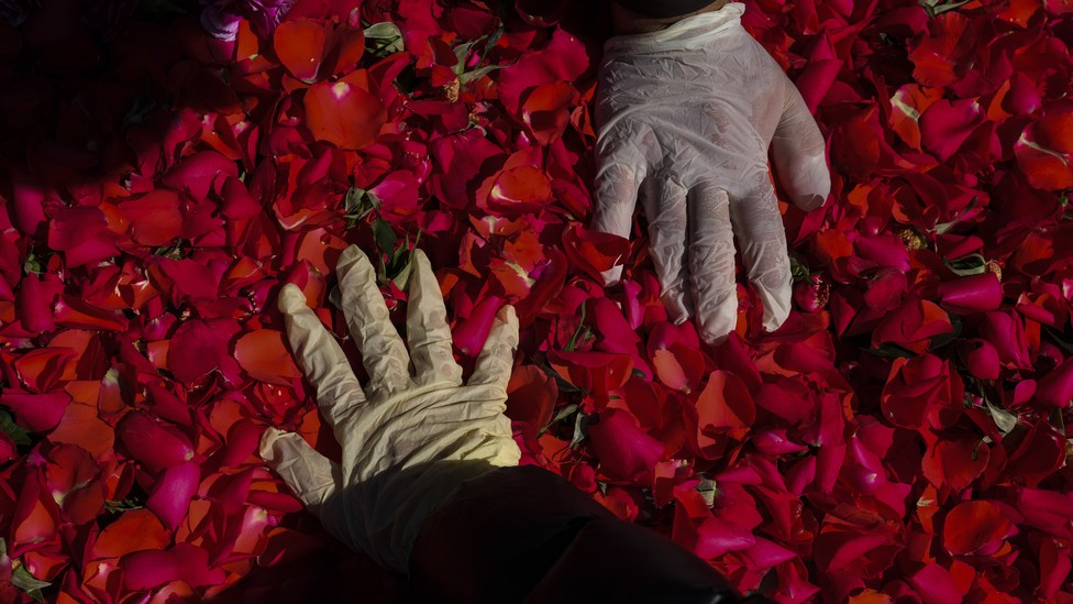 Hands in gloves touching rose petals
