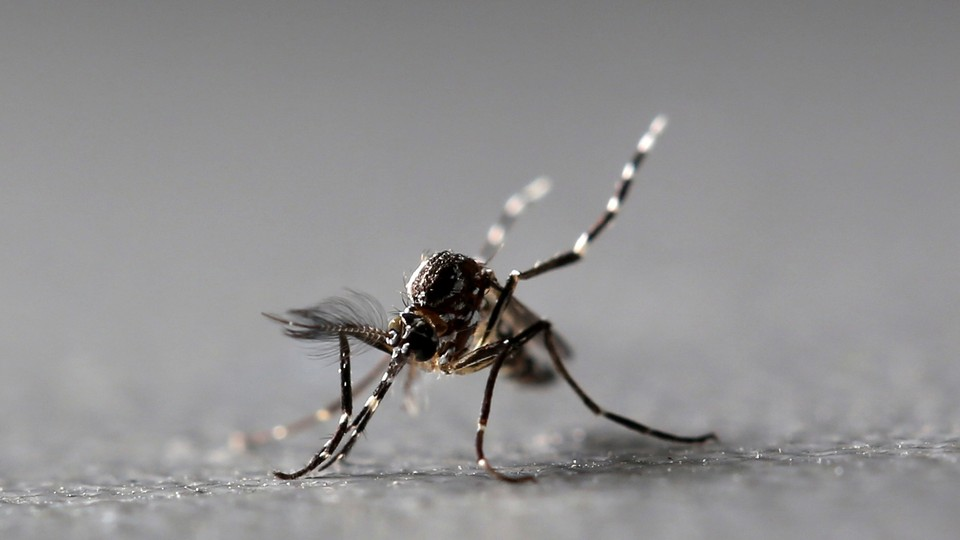 Genetically modified male Aedes aegypti mosquitoes.