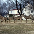 A group of deer pass through a yard in New Hope, Pennsylvania.