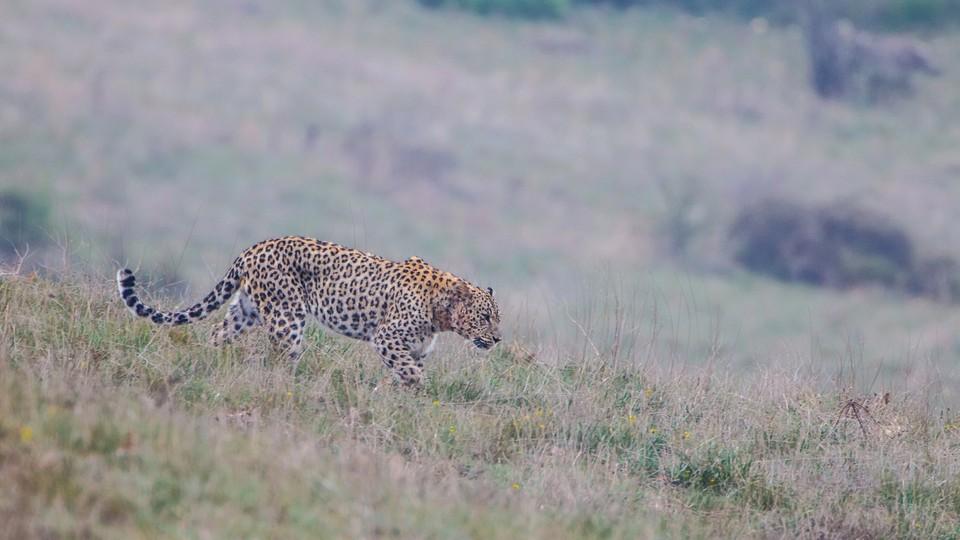 A male Persian leopard patrols its territory in Iran's Golestan National Park.