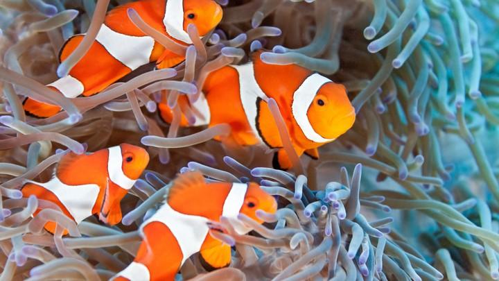 دلقک ماهی ابشور