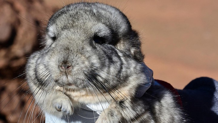 One of 25 endangered short-tailed chinchillas being relocated from the site of the mining project