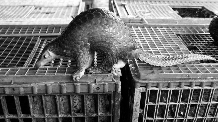 A confiscated pangolin