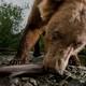 A Kodiak grizzly bear eats a salmon.