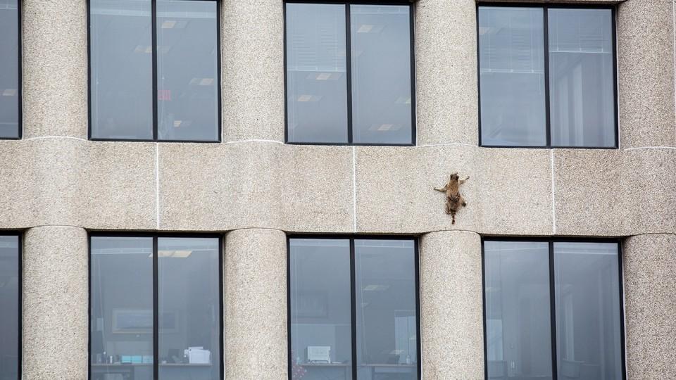 A raccoon climbs the side of a building