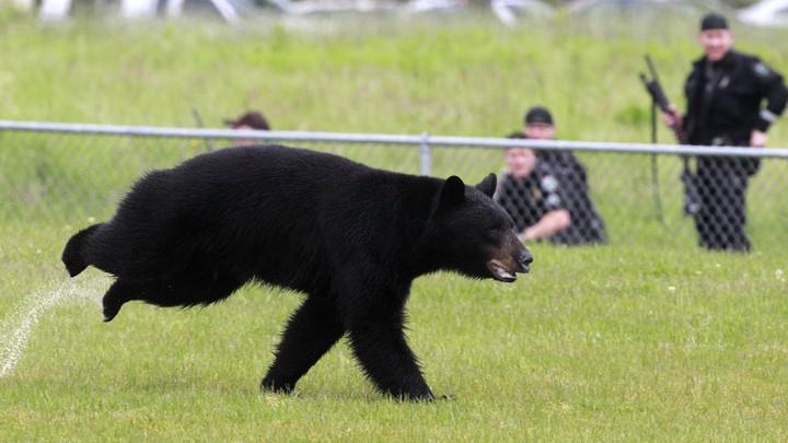 A adult black bear runs through Tualatin Elementary School yard in Oregon in 2011.