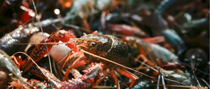 A close-up view of red swamp crawfish