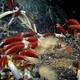Giant tube worms