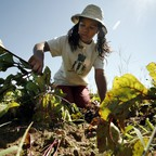 Amirah Mitchell, 14, harvests beets on a suburban Boston farm.