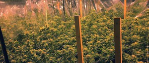 A marijuana farm is pictured.