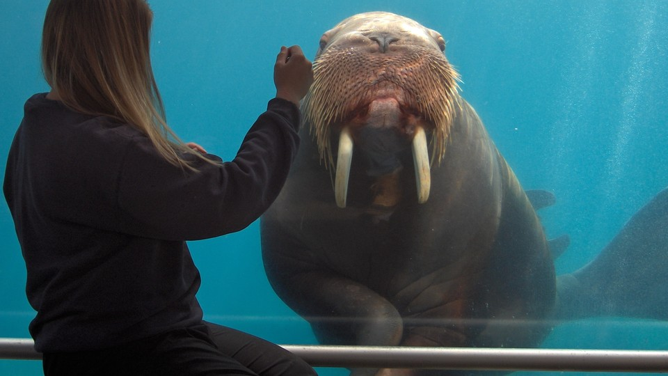 sivuqaq the walrus