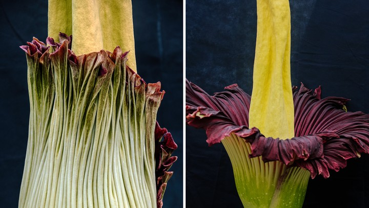 A blooming corpse flower