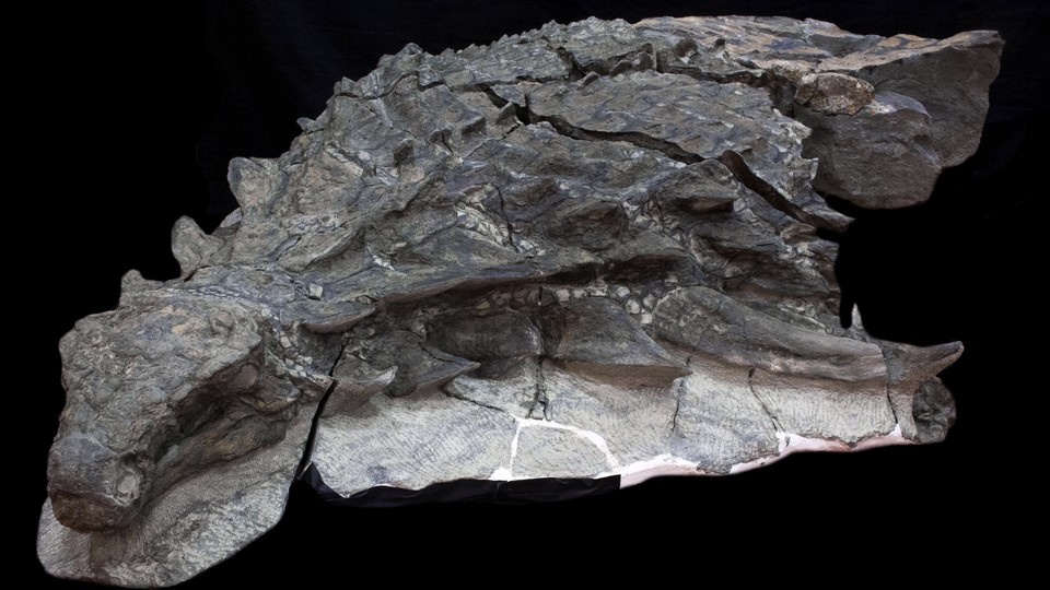 The front half of a fossil of <i>Borealopelta</i>, an ankylosaur, with skin and soft tissue preserved along with the bones