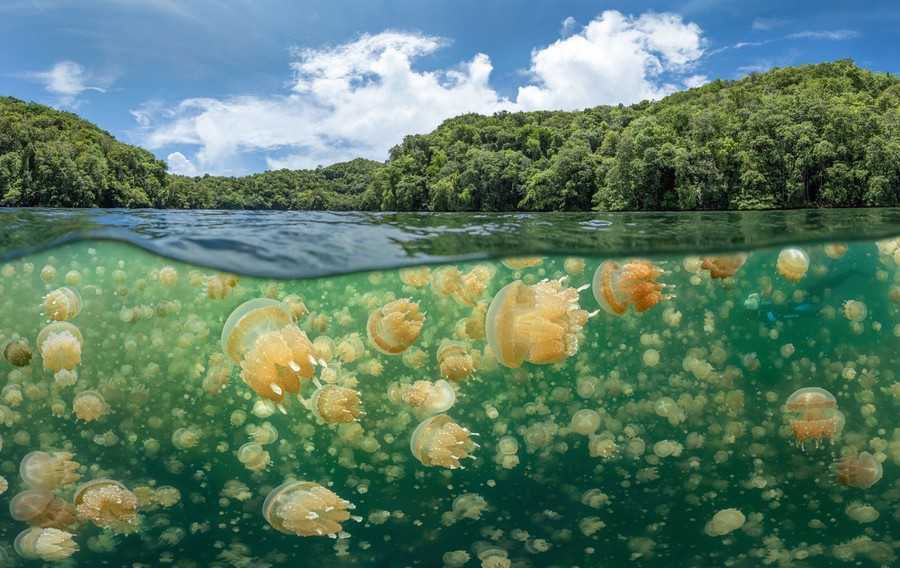 Hundreds of jellyfish are visible near the surface of a lake.
