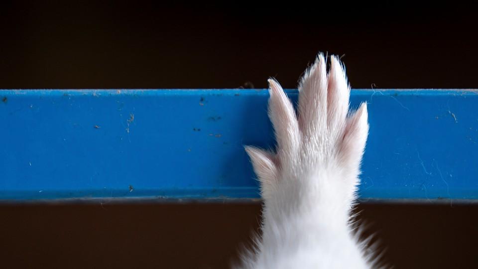 A mink hand touches a blue bar