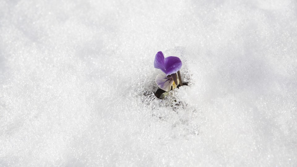 A sweet pea field covered in snow