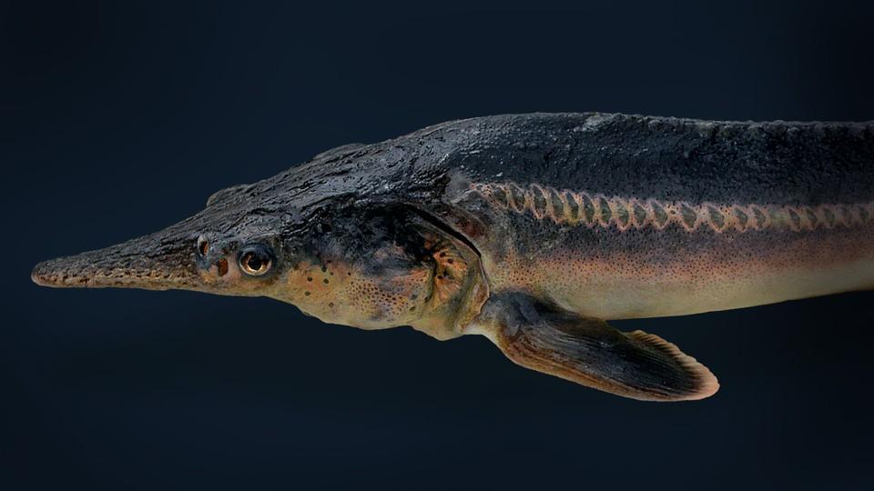 A sturddlefish
