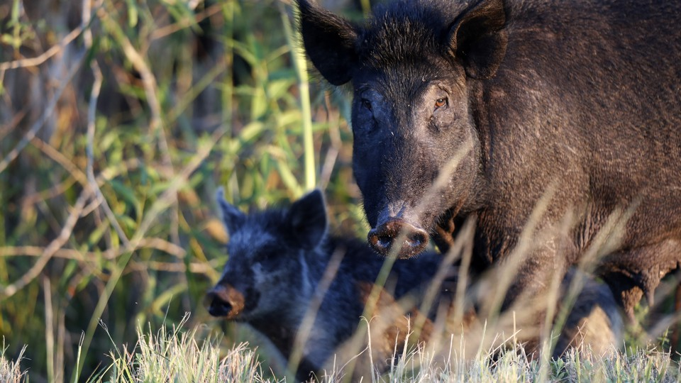 A feral pig in Florida
