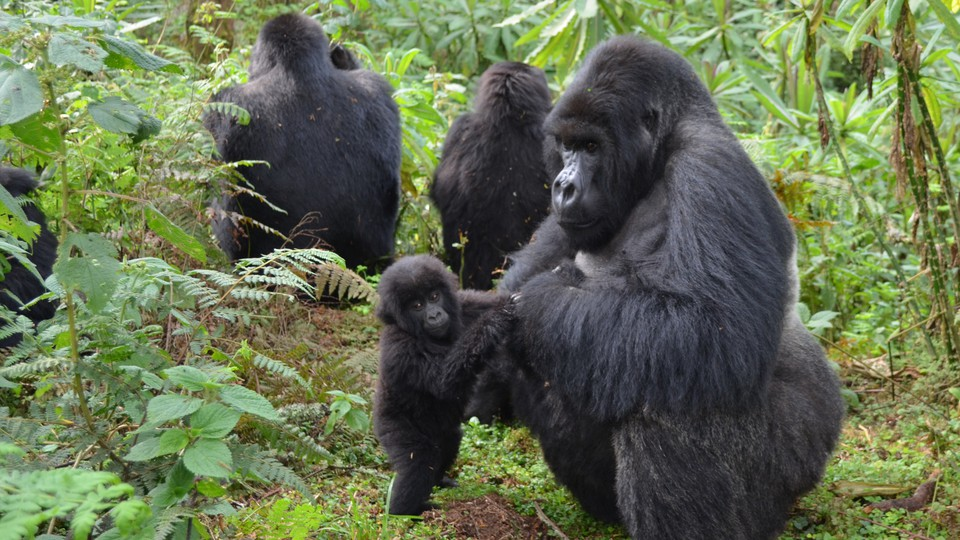 A male gorilla plays with a baby.