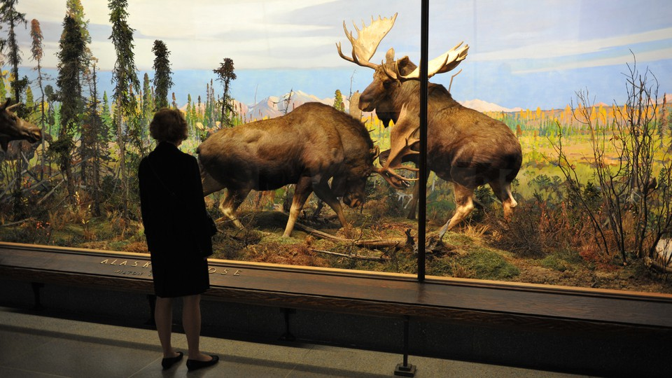 A woman looks at a diorama of Alaska moose at the American Museum of Natural History.