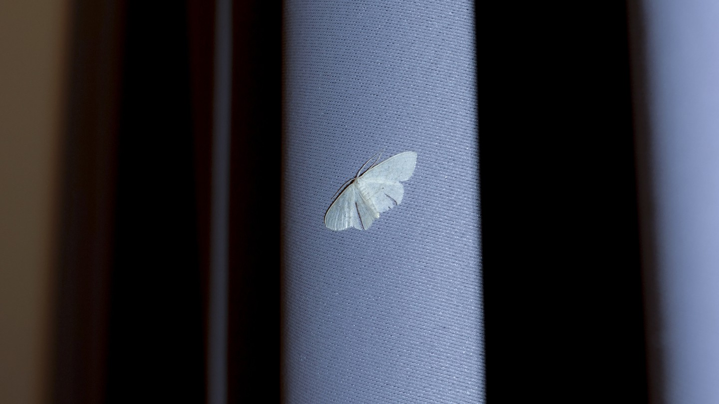 A small white moth on a light-blue curtain