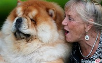 A woman sits beside a large chow chow dog.