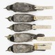 Ten bird specimens, five of which are a dull gray and five of which are a dull right