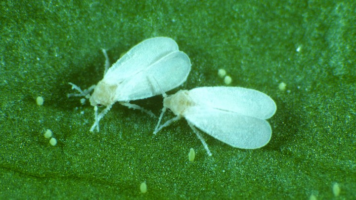 two whiteflies on a leaf