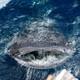 A whale shark surfaces