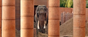 An elephant stares past the zoo enclosure gates
