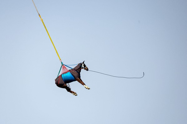 A horse is lifted into the air, hanging from a sling beneath a helicopter.