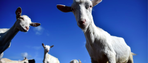 A goat looks at the camera in front of other goats