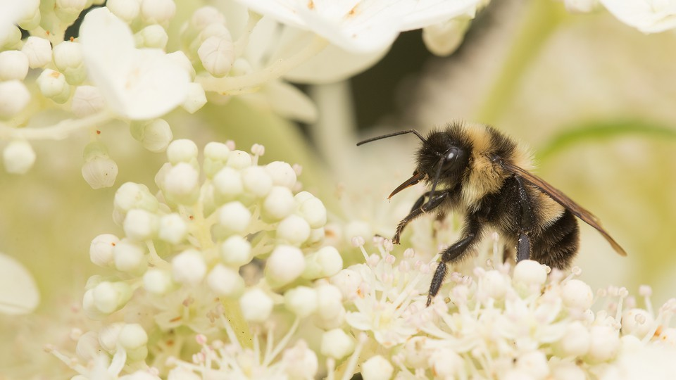 The rusty-patched bumblebee