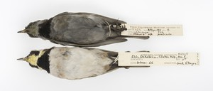 Horned Larks from 1904 (top) and 1966 (bottom), The Field Museum.