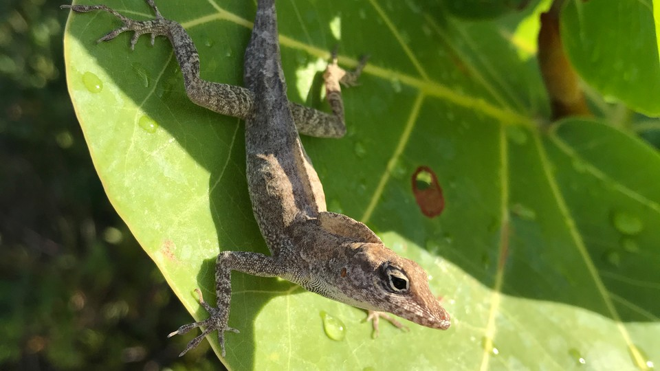 The Turks and Caicos anole