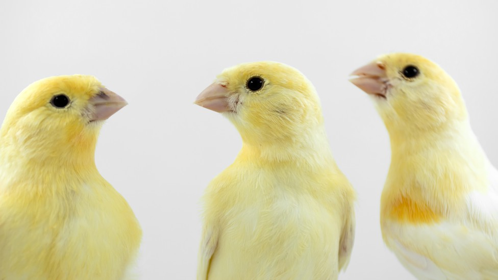 canaries look at each other