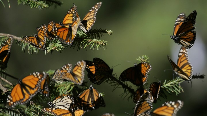 A group of monarch butterflies on a pine tree