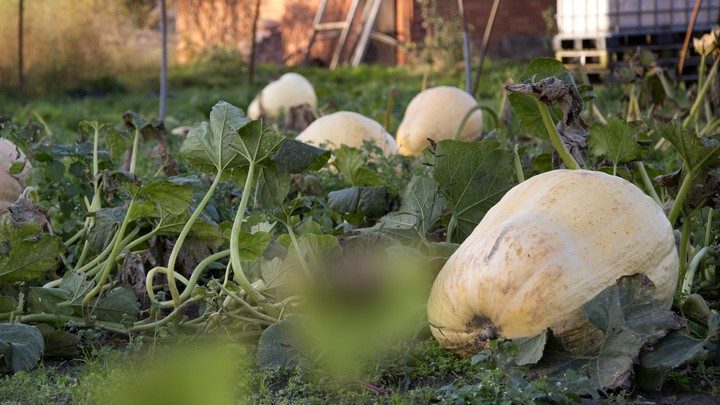 A patch full of giant pumpkins