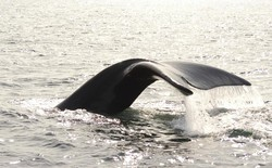 The tail of a right whale rises out of the ocean.