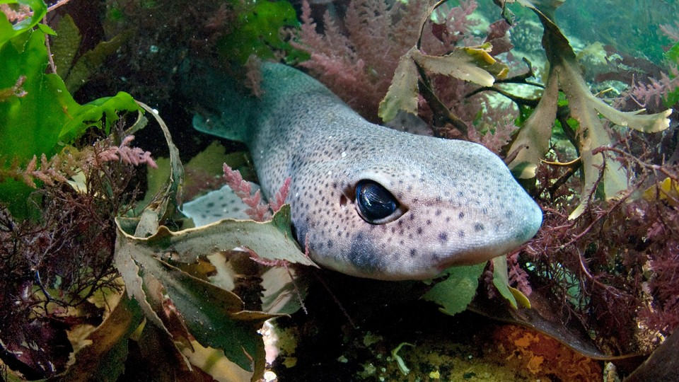 A Lesser Spotted Catshark rests in shallow waters.