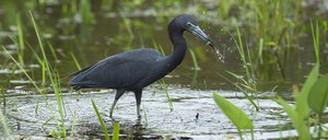 A small blue heron catches a fish in a marsh in the Florida Everglades.