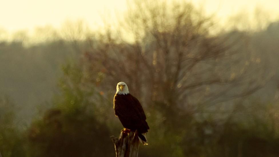 A bald eagle perched on a tree stump