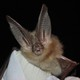 A Townsend's big-eared bat